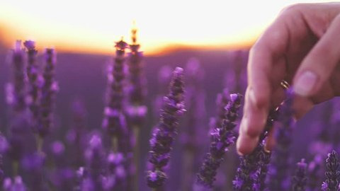 Close-up of woman's hand running through sunny lavender field. SLOW MOTION 120 fps. Girl's hand touching purple lavender flowers closeup. Plateau du Valensole, Provence, South France, Europe.