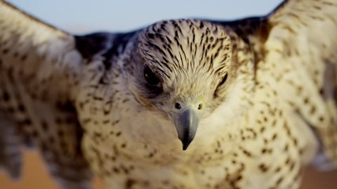 Head of a Saker falcon in Middle Eastern desert