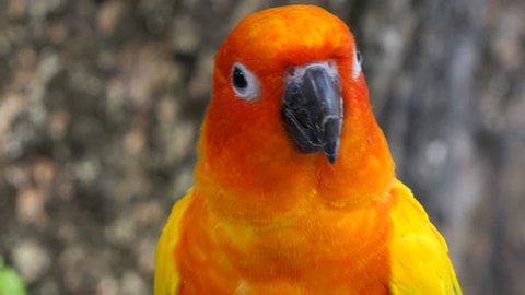 Sun conure parrot,