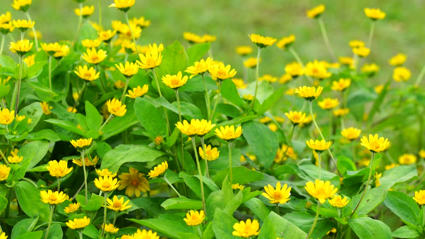 Stock video clip of small yellow flower blooming on the ground related video keywords mightylinksfo