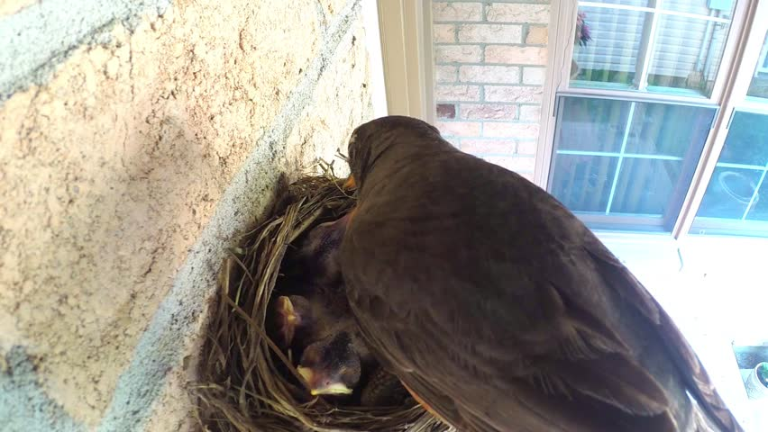 A father robin sits watch over three baby chicks in a nest. He leaves as the mother swoops in with food for the hatchlings to eat. She proceeds to feed her babies. | Shutterstock HD Video #18834362