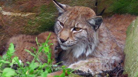 eurasian lynx mother cub in den