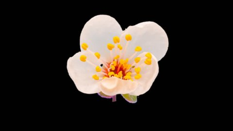 Wild plum flower growing and blossoming macro timelapse with isolated background, encoded with photo-png/Wild plum flower isolated macro time lapse