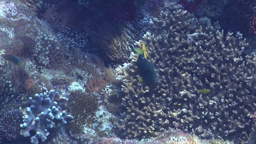 Yellowtail triggerfish swimming on shallow coral reef, Melichthys sp. HD