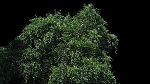 High quality 10bit footage of tree on the wind with Alpha Channel.  Made from 14bit RAW.