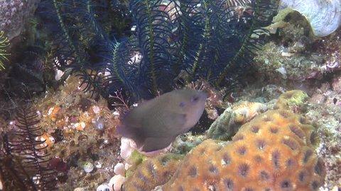 Black and white crinoid swimming, Stephanomitra echinus HD, UP30451