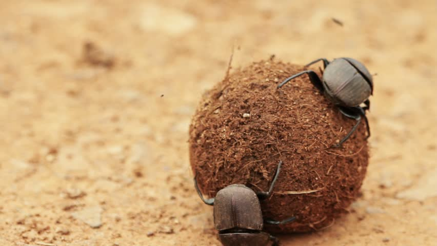 Dung beetle defending his dung ball and wife