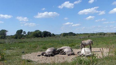 A family of Konik horses falling asleep and snoring quietly in the afternoon.   13:21 19 August 2016