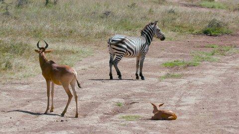 Burchell'S Zebra Hartebeest & Foal On Track; Nairobi Kenya Africa