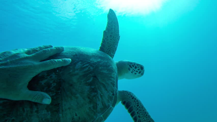 underwater video of a man's hand touching the green turtle