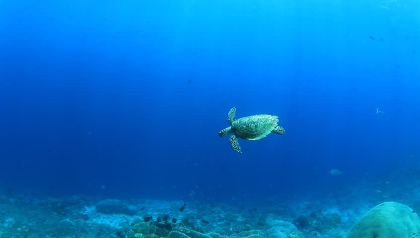 Hawksbill Sea Turtle swimming over coral reef underwater