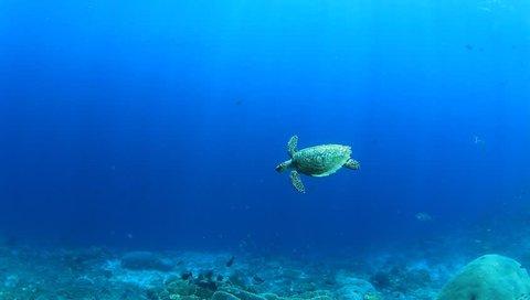 Hawksbill Sea Turtle swimming over coral reef underwater