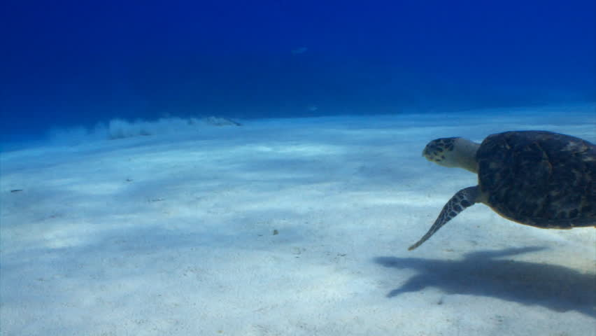 Hawksbill sea turtle swimming over sand in Cozumel, Mexico