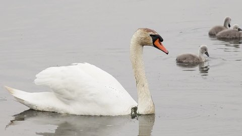 swan swimming in the lake and search feed