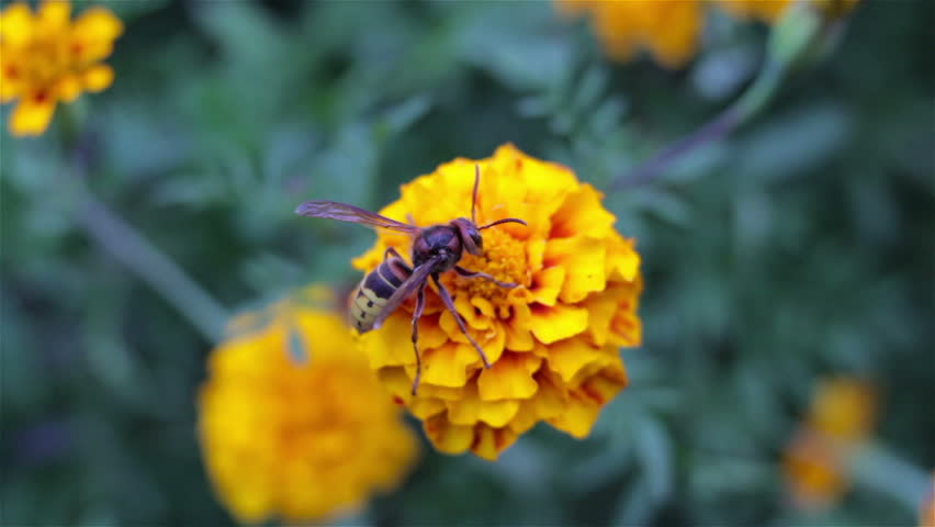 Bee On Marigold Wasp Collects Nectar From Marigolds Hd Stock Video Clip