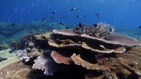 Ocean scenery healthy reef, surge and lots of fish and plate, staghorn and table corals, on shallow coral reef, HD, UP28488