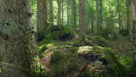 Forest mossy green trees trunks roots woods thick pristine dolly motion sunny