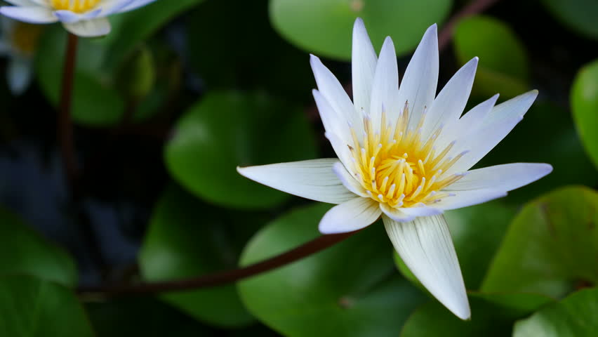 White lotus flower in pond stock footage video 100 royalty free 4k0010close up white lotus with yellow pollen sway in the wind in the morning light and the insect is walk up and down and then eating the yellow pollen mightylinksfo