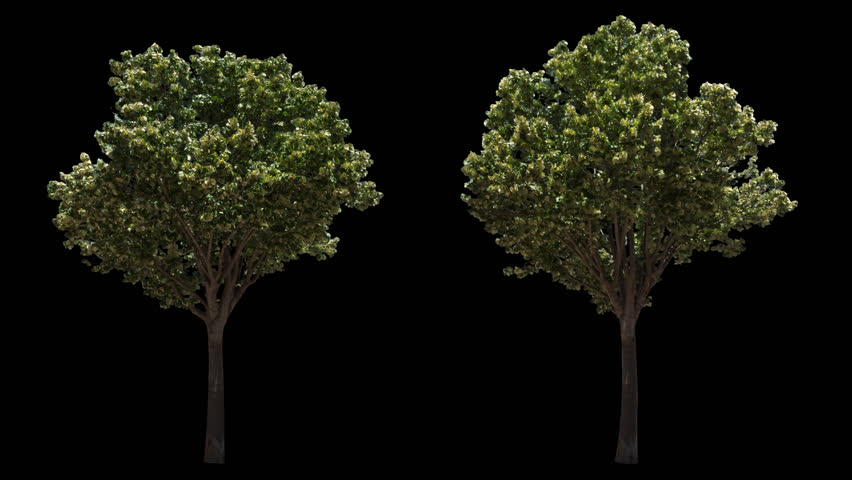 2 blowing on the wind beautiful green European decorative full size real trees isolated on alpha channel with black and white luminance matte, perfect for film, digital composition