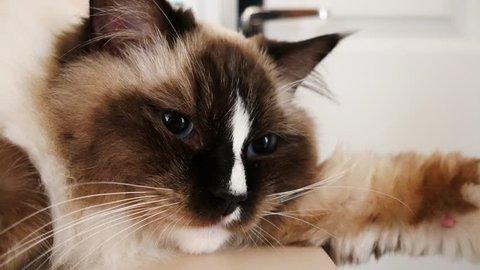 Cute ragdoll cat