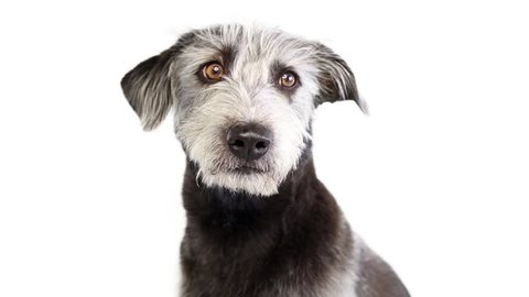 Closeup video of shaggy gray mixed breed dog looking around and sticking tongue out to lick lips.