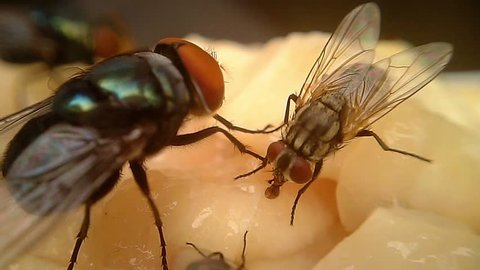 Close up (Macro) shot of cluster flies and black flies feeding together on rotting meat. Presented in real time.