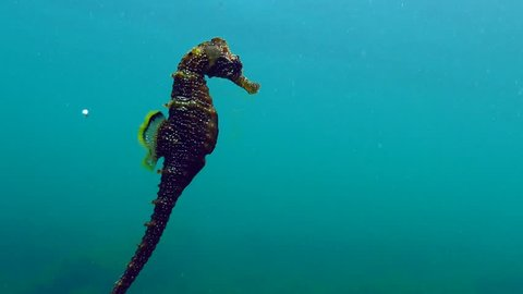 Black Sea, the Gulf of Odessa. Long-snouted seahorse (Hippocampus hippocampus)