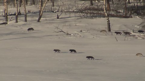 Wolf Adult Immature Pack Wolves Wolfpack Walking Moving Hunting Winter Black Gray Color Phase. Yellowstone National Park, Wyoming, USA - December, 2015