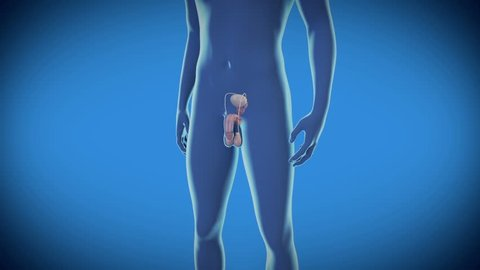 Man Erection - Medical 3d Animated view of the male erectile function -