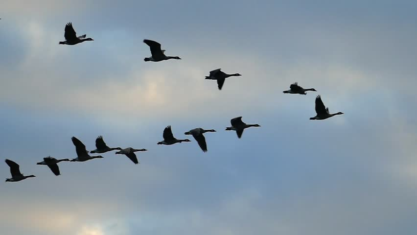 Flock of Canadian Geese flying silhouetted in the sunrise sky, slow motion.