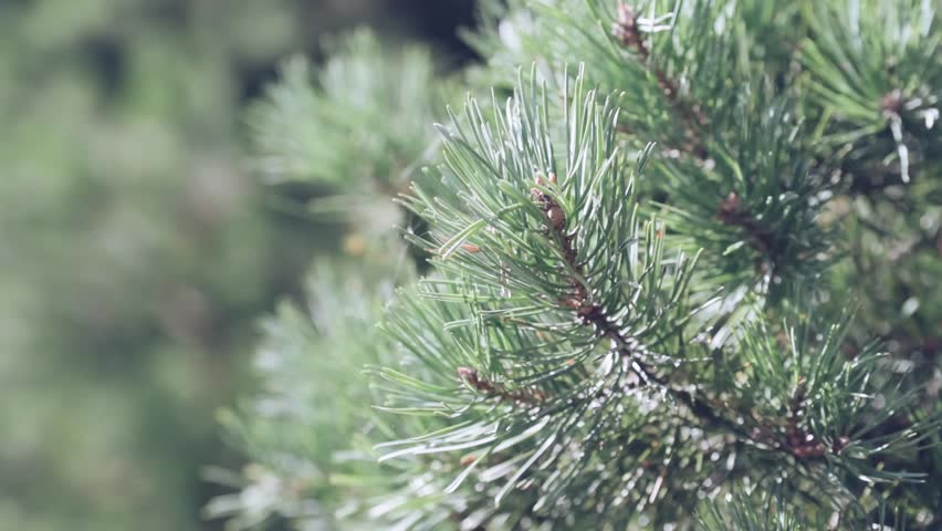 photosythesis in pine trees Level 7, lessson plan 1, chapter 1 knowing god through creation dinner (6:00-6:30) aim: knowing god through creation materials: rosaries, music issue, prayer handout, wind-up watch parts.