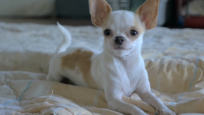 A close up of an adorable chihuahua laying on a bed in slow motion