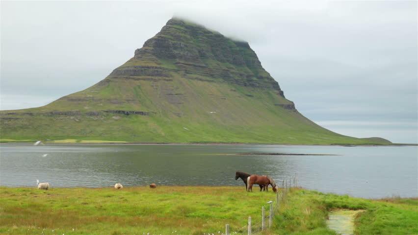 Icelandic horses and sheep next to ocean under arctic tern kria swarm Kirkjufell Iceland