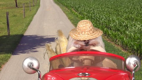 Sleepy country dog drives red convertible car past farm fields,  freshly picked corn in back seat. 4K UHD 3840x2160