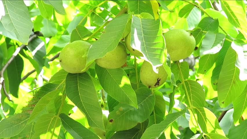 Walnut in the peel on branch. Green Walnuts on the Tree Branch. Walnuts on the Branch. Nuts on the Tree. Unripe Walnuts. Wealthy Walnut Fruits Hang on Tree Branch.
