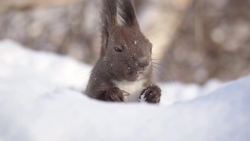 Hokkaido Squirrel eating food on the snow #1963261