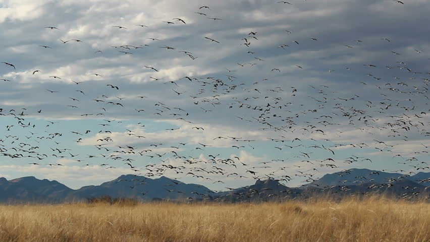 Birds, hundreds of sandhill cranes, fly over dry, grassy, winter fields, circle, then swoop down for landing. 1080p