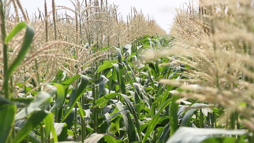Sweet Corn Field | Shutterstock HD Video #1966231