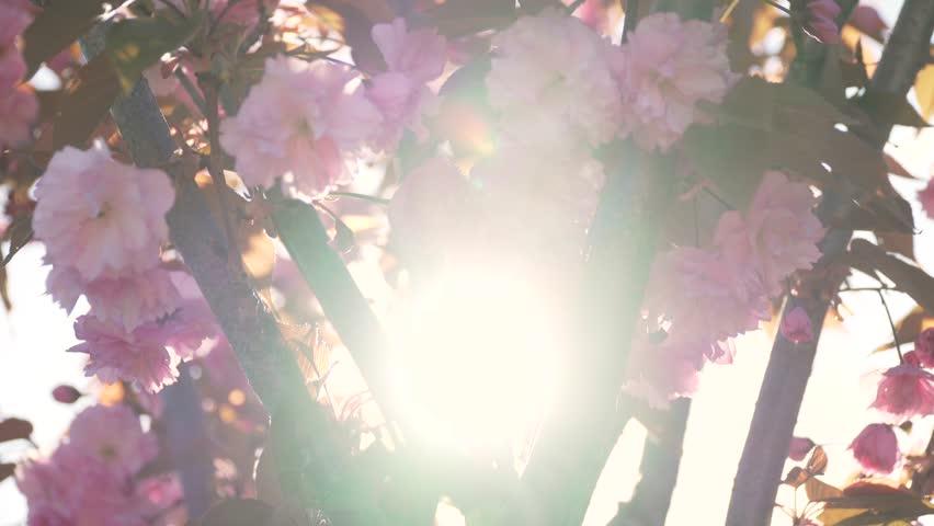 Spring flower cherry sakura tree branch blossom background. Sun backlight pink white cherry tree branch sakura flower blossom background. Cherry sakura tree flower blossom spring. Cherry tree blossom