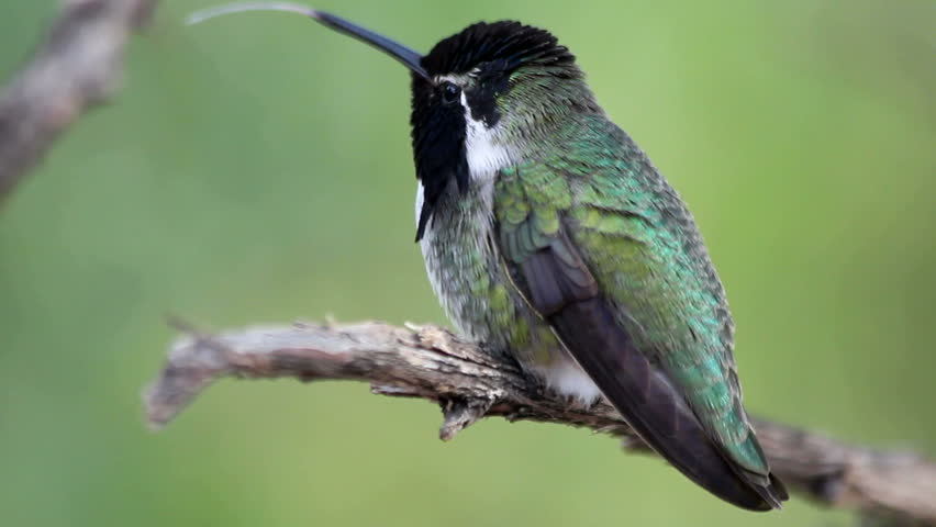 Costaâ??s hummingbird perches, sharpens beak on tree branch, flicks tongue, scratches, displays vivid purple iridescent feathers. 1080p