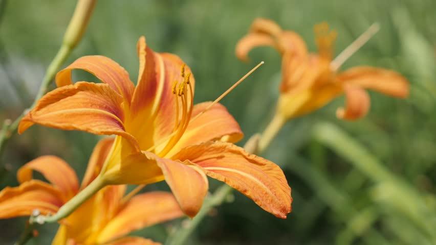 Elegant orange flower bud of Hemerocallis fulva tiger natural garden background 4K 2160p 30fps UltraHD footage - Moving on wind tawny day-lily in bloom plant close-up  3840X2160 UHD video