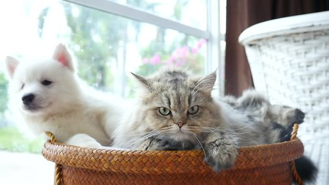 Cute siberian husky and persian cat lying in basket bed,slow motion