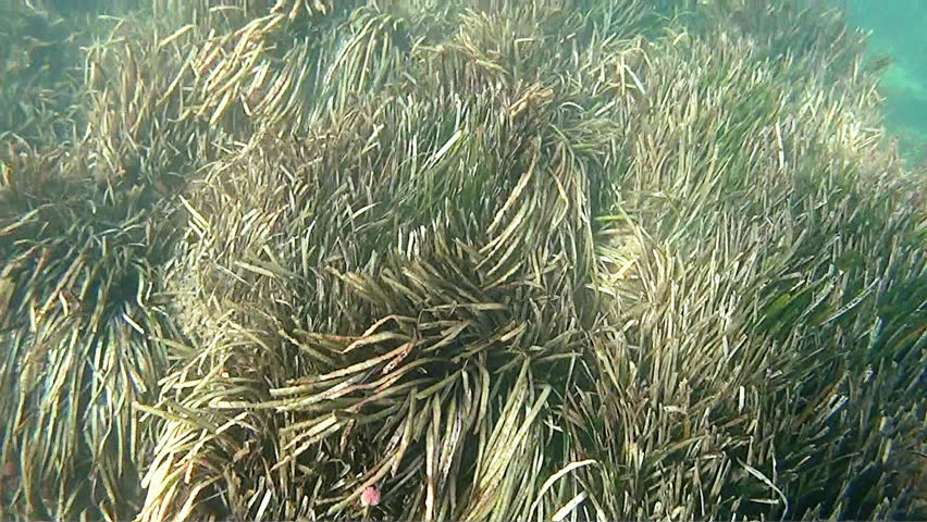 Mediterranean submarine seagrass and poseidonia