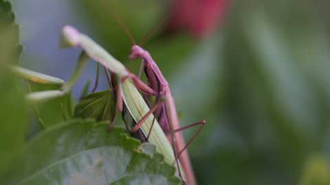 Macro shot of two Praying Mantis mating on an hibiscus plant.