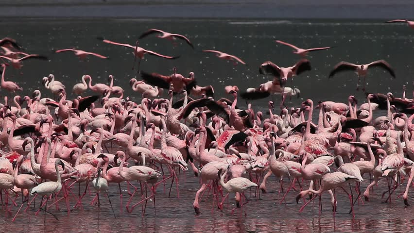 Lesser Flamingo, phoenicopterus minor, Group having Bath, Some in Flight, Colony at Bogoria Lake in Kenya, Real Time