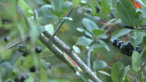Aronia, chokeberry, on the green branches on the background of the Sun