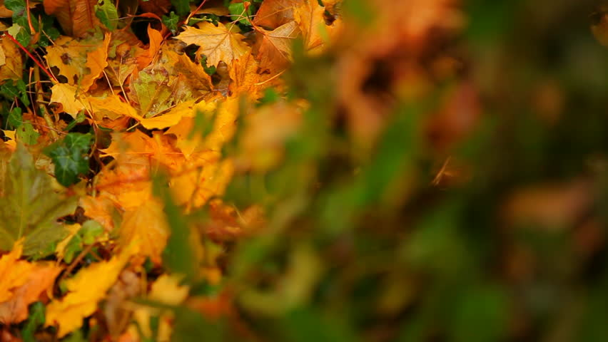 Autumn Leaves Below English Ivy