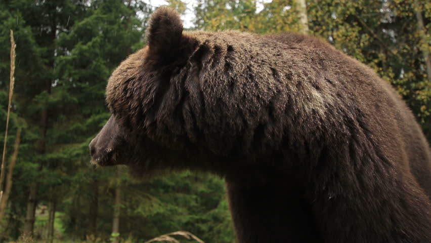 Wild brown bear close-in the forest up growls turning his head (1080p 25 fps; handle; canon 7d Mark II, Sigma 10-20)