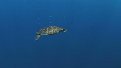 Green Sea turtle swims in blue water. 4k footage