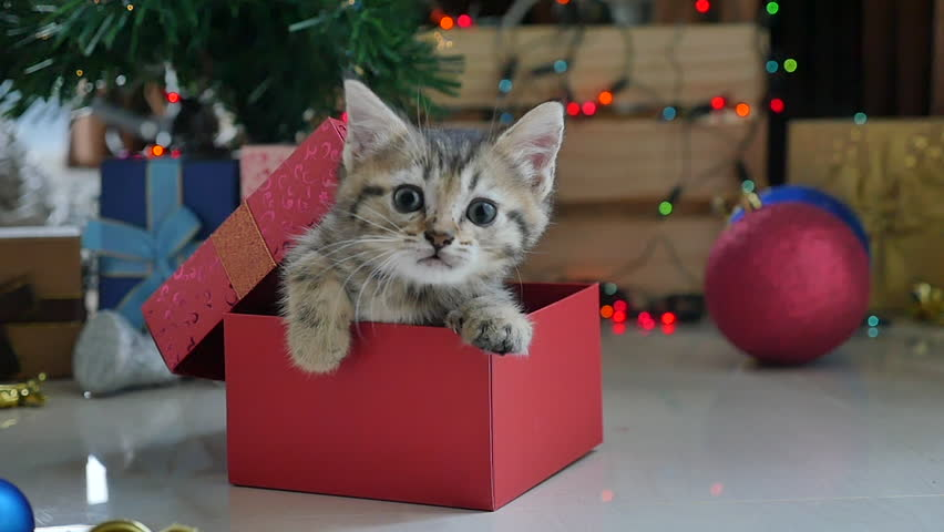 Cute tabby kitten playing in a gift box with Christmas decoration,slow motion #20207572